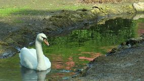 Swan swims in the creek. At the bottom of the frame are two wild ducks stock footage