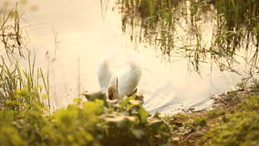 Swan swims near the shore in the evening.  stock footage