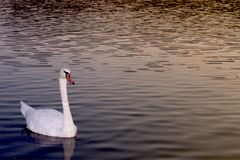 A swan swims in peace at evening at Orfü Lake, Hungary. With copy space. stock photos