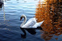 The swan swims in the pond stock photos