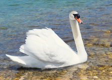Swan swims in shallow water. A white swan swims in the shallow water of a lake with stony ground stock photo