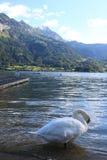 Swan in Switzerland Royalty Free Stock Image