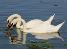 Swan Symmetry. Two swans in perfect symmetry in a millpond in Britain Royalty Free Stock Photography