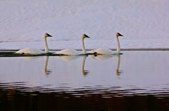 Swan symmetry. Swans in the wilds of Grand Teton National Park Stock Photo