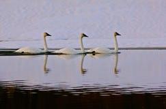 Swan symmetry Stock Photo
