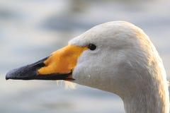 Swan in Takamatu lake Stock Photos