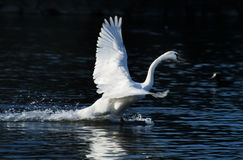Swan take off Stock Image