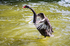Swan take off Royalty Free Stock Photos