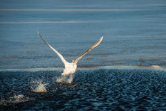 Swan Take Off at Frederiksborg Castle area at Hillerod Stock Image