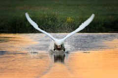 Swan take off front Royalty Free Stock Photos