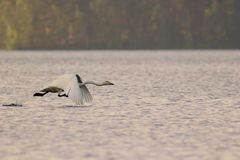Swan take off Royalty Free Stock Photography
