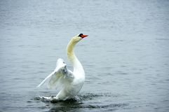 Swan during takeoff Stock Image