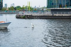 A swan takes off the waters of the Manchester Canal in front of a boat at the Salford Quays in Greater Manchester. Manchester, United Kingdom - April 24, 2019: A royalty free stock images