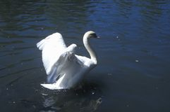 Swan taking flight from lake, Sun Valley, ID Royalty Free Stock Photo