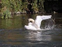 Swan taking flight Stock Image