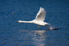 Swan taking off. Mute swan running on water as it takes off royalty free stock image