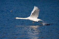 Swan taking off Royalty Free Stock Image