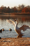 Swan taking off. A majestic swan starting to fly, autumn landscape Royalty Free Stock Images
