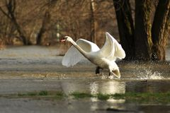 Swan Taking Off Royalty Free Stock Photography