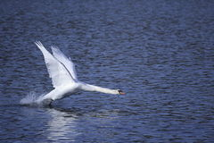 Swan taking off. With wings upright Stock Image