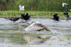 Swan taking off. Swan (cygnus olor) taking off Stock Image