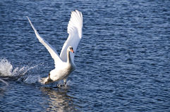 Swan taking off. A Swan about to take off from water Royalty Free Stock Image