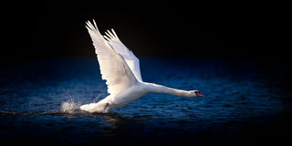 Swan Taking Off on Deep Blue Water Royalty Free Stock Photo
