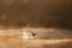 Swan Taking Off In The Misty Morning Royalty Free Stock Photo