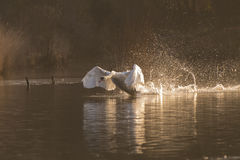 A swan taking off just after sunrise at Southampton Common. A swan taking off in the golden time just after sunrise on the Ornamental Pond at Southampton Common Royalty Free Stock Image