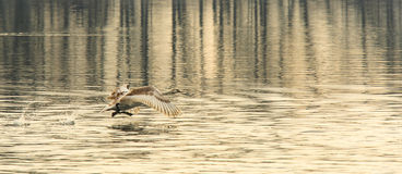 Swan taking off Royalty Free Stock Photos