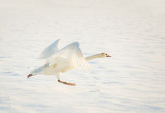 Swan taking off in snow Stock Photography