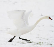 Swan taking off in snow Royalty Free Stock Images