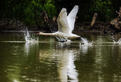 Swan taking off Royalty Free Stock Photos