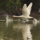 Swan taking off Stock Images