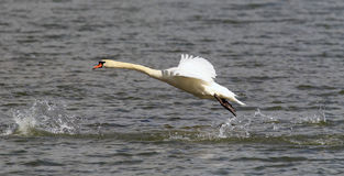 Swan is taking off from water Stock Image