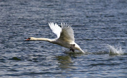 Swan is taking off from water Stock Photo