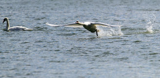 Swan is taking off from water Stock Photography