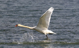 Swan is taking off from water Stock Images