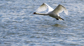 Swan is taking off from water Royalty Free Stock Photography