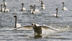 Swan is taking off from water. Stock Photo