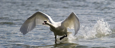 Swan is taking off from water. Stock Photos
