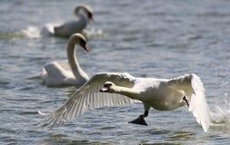 Swan is taking off from water. Swan running on water.River Danube in Zemun,Belgrade Serbia Stock Image