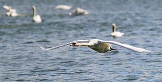 Swan is taking off from water. Royalty Free Stock Image