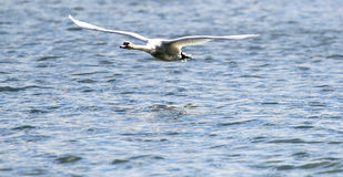 Swan is taking off from water. Royalty Free Stock Images