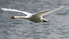 Swan is taking off from water. Swan running on water.River Danube in Zemun,Belgrade Serbia Stock Photography