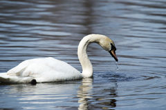 Swan taking a sip of water Royalty Free Stock Image