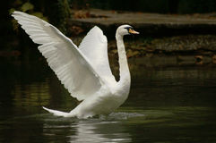 Swan is taking wing royalty free stock image