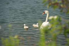 Swan with cygnets Royalty Free Stock Images