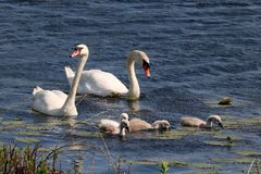Swan Teamwork Stock Images
