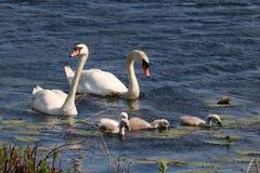 Swan Teamwork